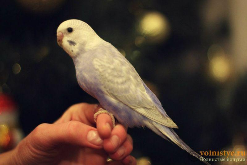 Новогодние птенчики волнистого попугая)) (Москва) - 2f83859bae0d.jpg