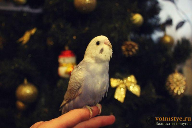 Новогодние птенчики волнистого попугая)) (Москва) - 255a6fecb13c.jpg