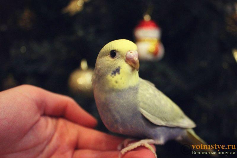 Новогодние птенчики волнистого попугая)) (Москва) - b3c2a3f7f72b.jpg