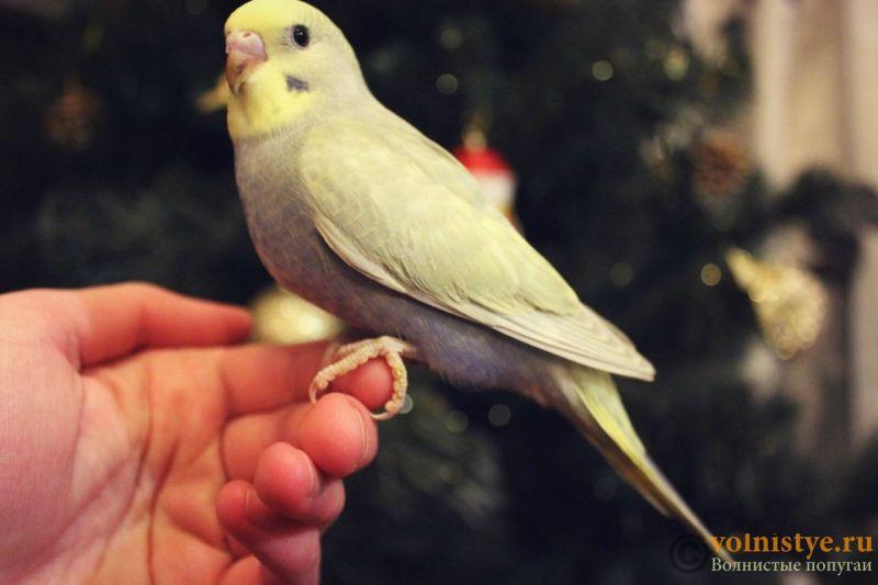 Новогодние птенчики волнистого попугая)) (Москва) - e4a95d8dea3d.jpg