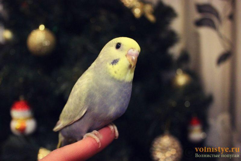 Новогодние птенчики волнистого попугая)) (Москва) - 65c9b58c9093.jpg