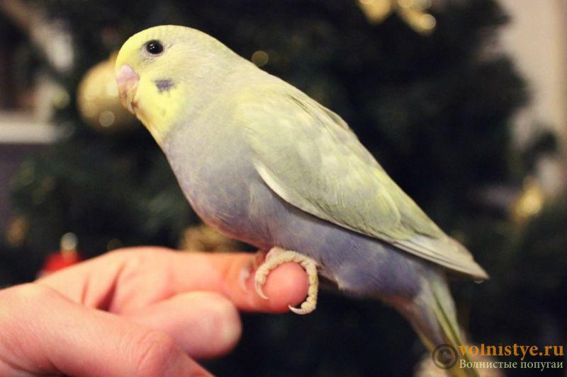 Новогодние птенчики волнистого попугая)) (Москва) - 78d2987eafe8.jpg