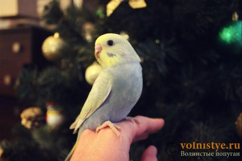 Новогодние птенчики волнистого попугая)) (Москва) - 2afe3b17487c.jpg