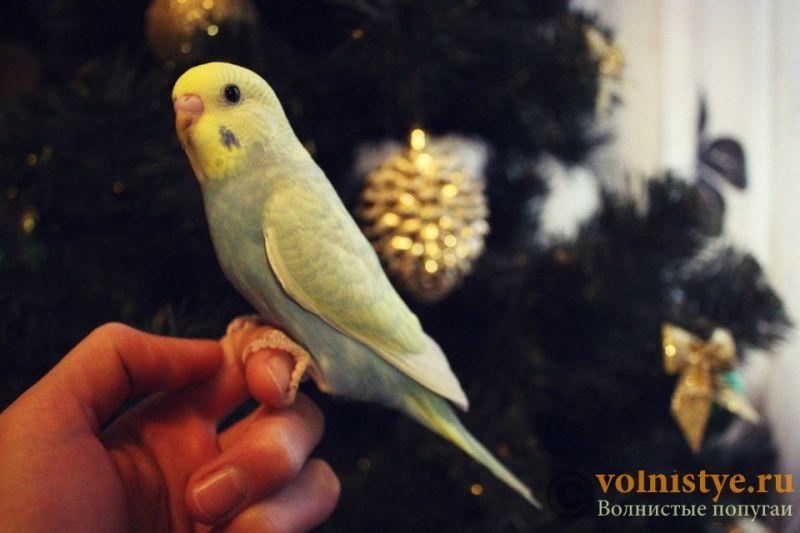 Новогодние птенчики волнистого попугая)) (Москва) - 807a7a67b50d.jpg