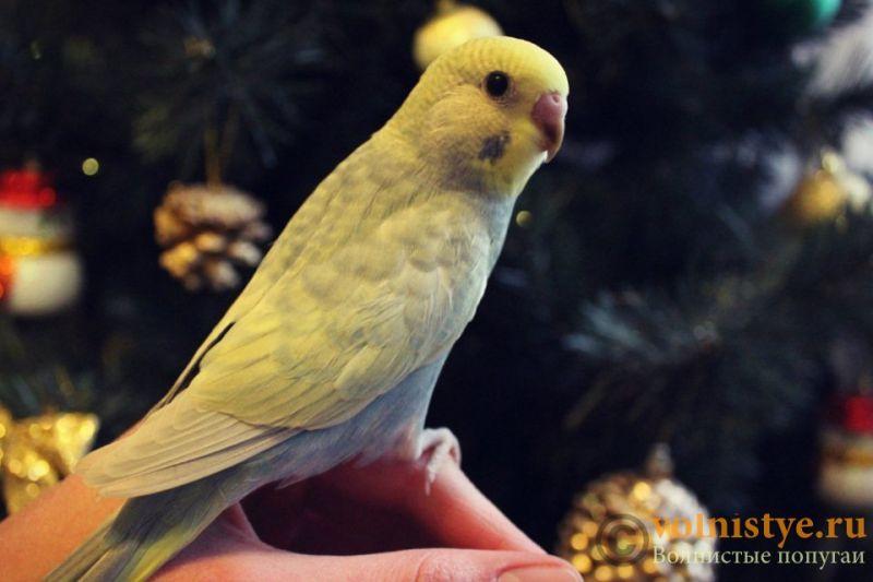 Новогодние птенчики волнистого попугая)) (Москва) - 468d82292e0f.jpg
