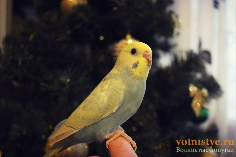 Новогодние птенчики волнистого попугая)) (Москва) - 33ab3077fa9c.jpg