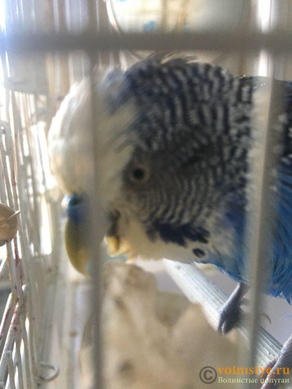 Попугай постоянно открывает клюв и теряет вес - IMG-a807ec0b6fce9c05c3428a81492c0f6f-V.jpg