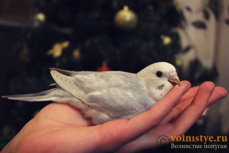 Новогодние птенчики волнистого попугая)) (Москва) - 09a2b5861f02.jpg