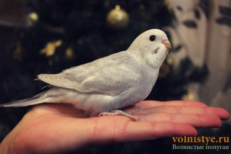 Новогодние птенчики волнистого попугая)) (Москва) - 4d8e3f68463f.jpg