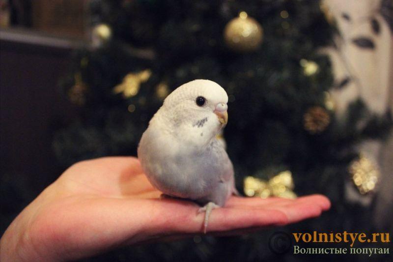 Новогодние птенчики волнистого попугая)) (Москва) - bac706efafaa.jpg