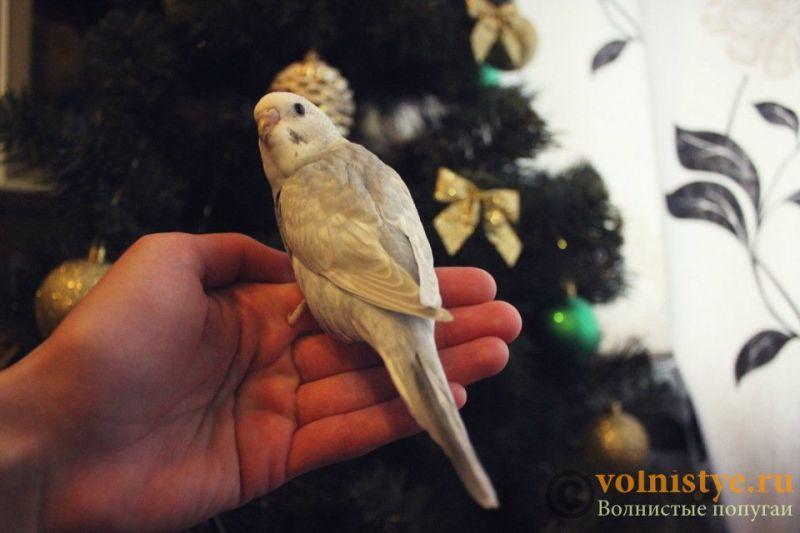 Новогодние птенчики волнистого попугая)) (Москва) - 7f74ee79e92e.jpg