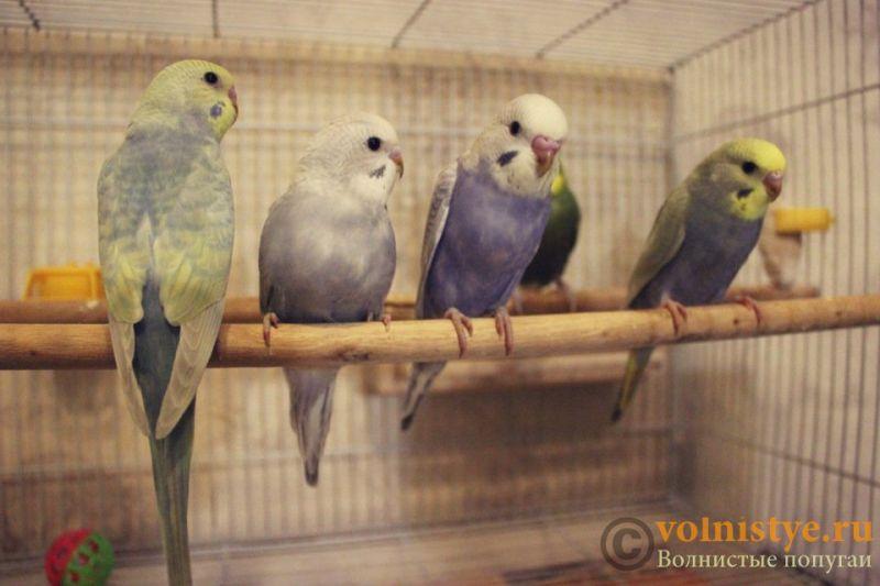 Новогодние птенчики волнистого попугая)) (Москва) - 5460735e9c19.jpg