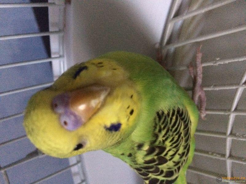 Подскажите, у попугая клещ? - 2 - image.jpg