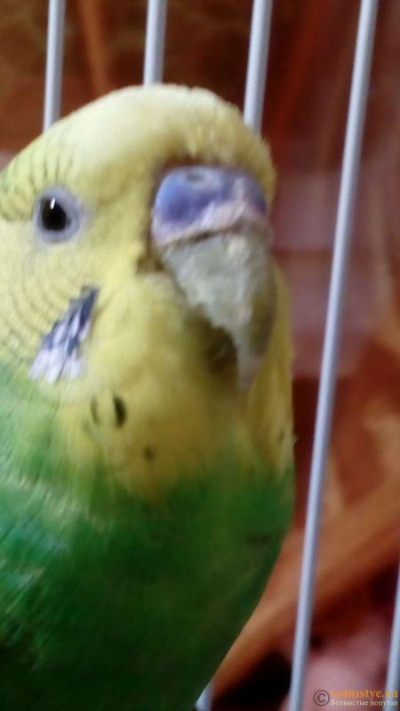 Подскажите, у попугая клещ? - 2 - IMG_20180103_214852.jpg