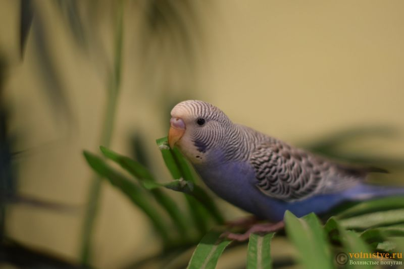 Первые дни дома. Приучение попугая к рукам. - DSC_2091.JPG