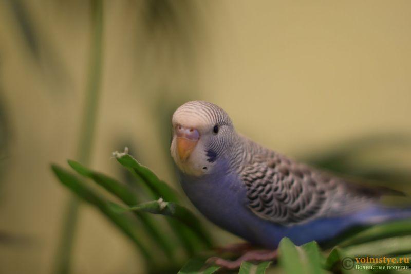 Первые дни дома. Приучение попугая к рукам. - DSC_2092.JPG