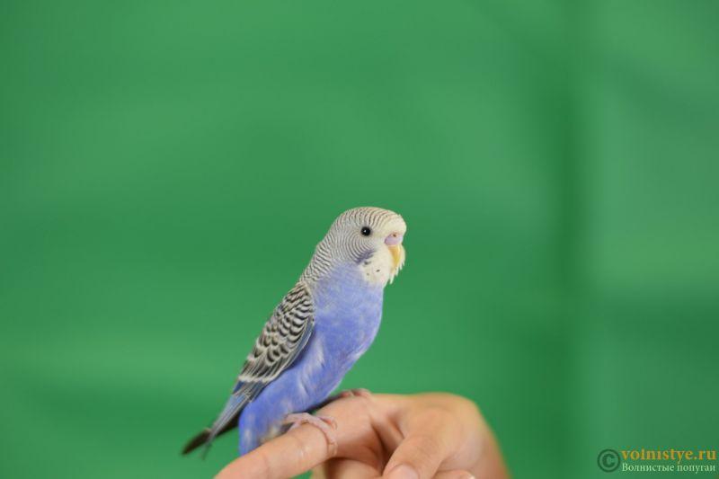 Первые дни дома. Приучение попугая к рукам. - DSC_2128.JPG