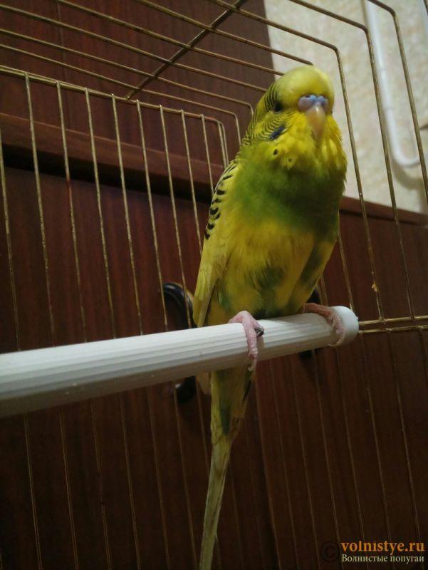 Травма лапы у волнистого попугая-2 - wY9qrOzRamo.jpg