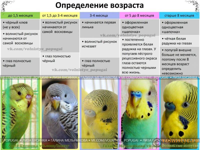 Попугай 3 дня все время спит ,хохлится и прячет голову пол крылышком - yewxB4qIPfA.jpg