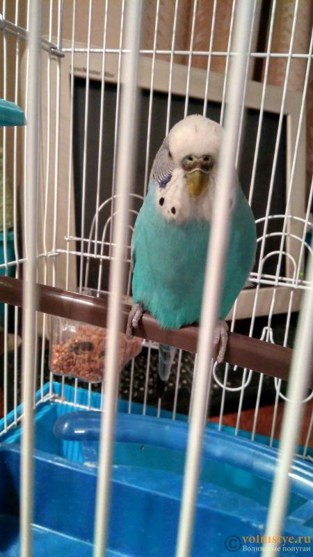 У попугая стала коричневой восковица. - BGKHFiRRkRc.jpg