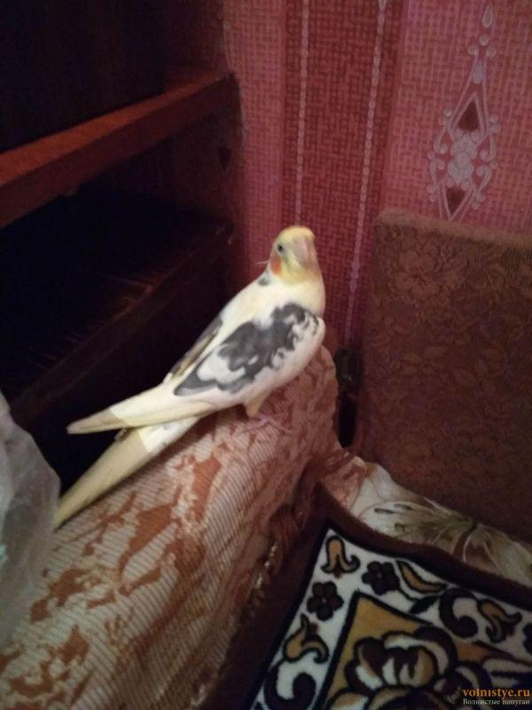 Определение пола и возраста попугаев корелла - IMG_20180118_203408.jpg