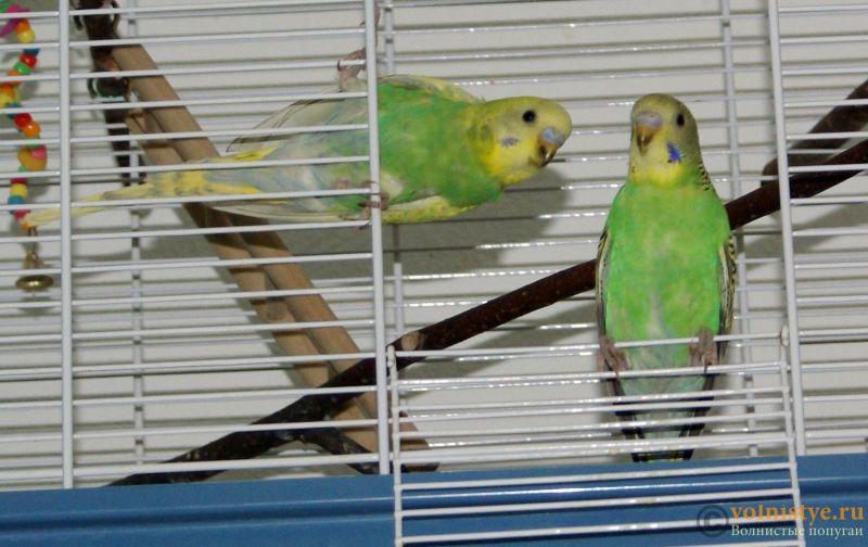 Птенцы волнистого попугая, продажа - Птенцы2.jpg