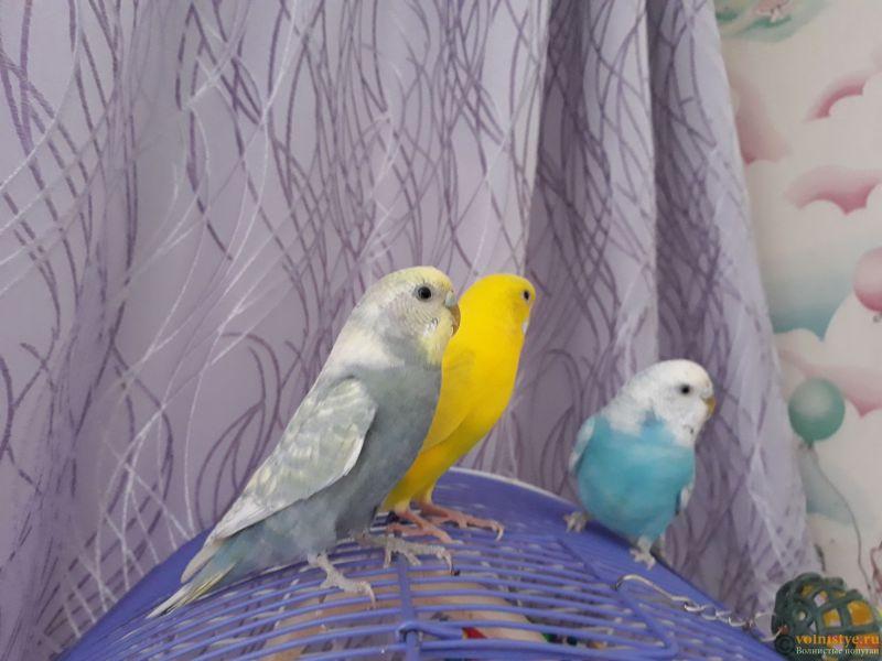 Имена для волнистых попугаев. - IMG-1221d44cdbb3187e89a0136e4b83cab3-V.jpg