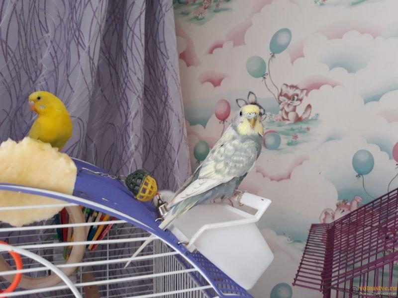Имена для волнистых попугаев. - 20180128_123405.jpg