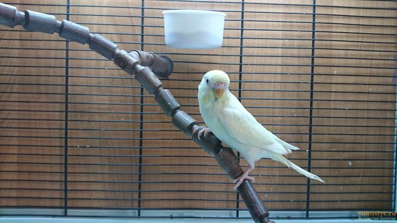 белый помёт у попугая - DSC_0653.JPG
