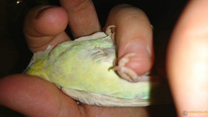 белый помёт у попугая - DSC_0648.JPG