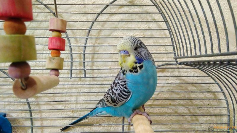 Подскажите, у попугая клещ? - 2 - IMG_20180202_193255.jpg