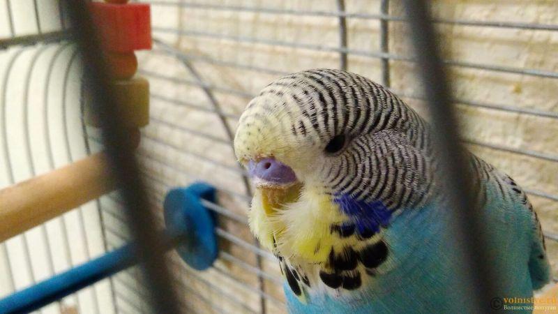Подскажите, у попугая клещ? - 2 - IMG_20180202_193328.jpg