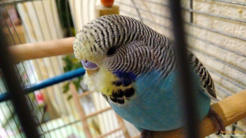 Подскажите, у попугая клещ? - 2 - IMG_20180202_193438.jpg