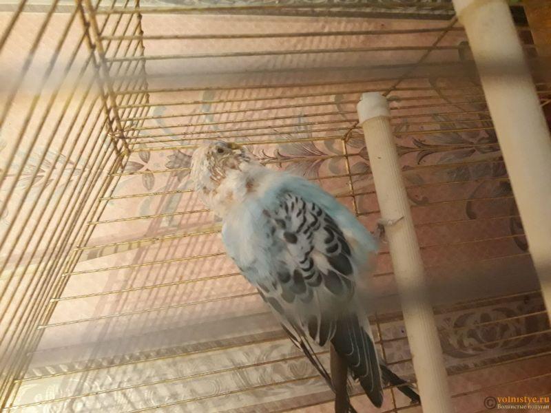 Попугай лысеет - 1517640668026841267604.jpg