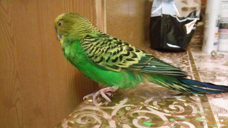 Травма лапы у волнистого попугая-2 - h2DVMjM-zFk.jpg