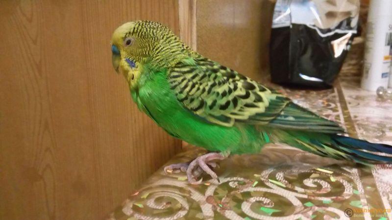 Травма лапы у волнистого попугая-2 - Twa3fTXwHEQ.jpg