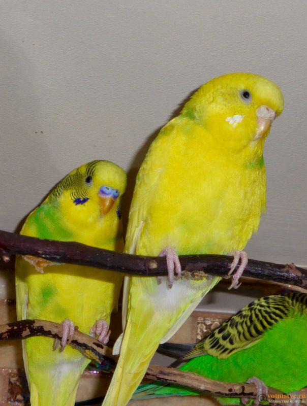 Окрасы волнистых попугаев - 2FD54CBE-A4A2-4B85-B7BB-5B5538E983A5.jpeg