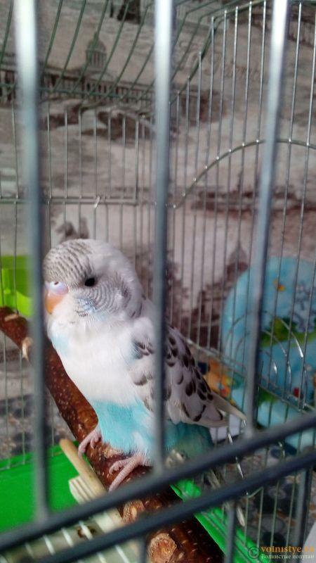 Окрасы волнистых попугаев - IMG_20180207_130316.jpg
