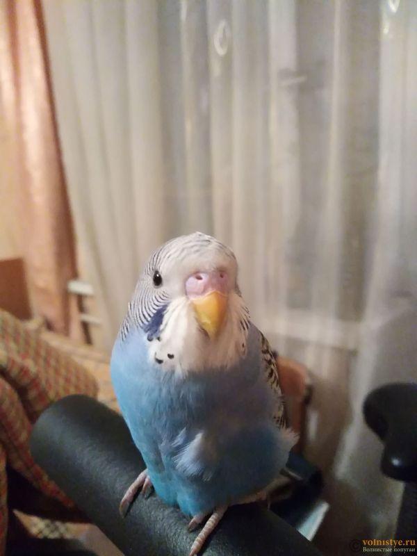 Приручение волнистого попугая - IMG_20180207_192107.jpg