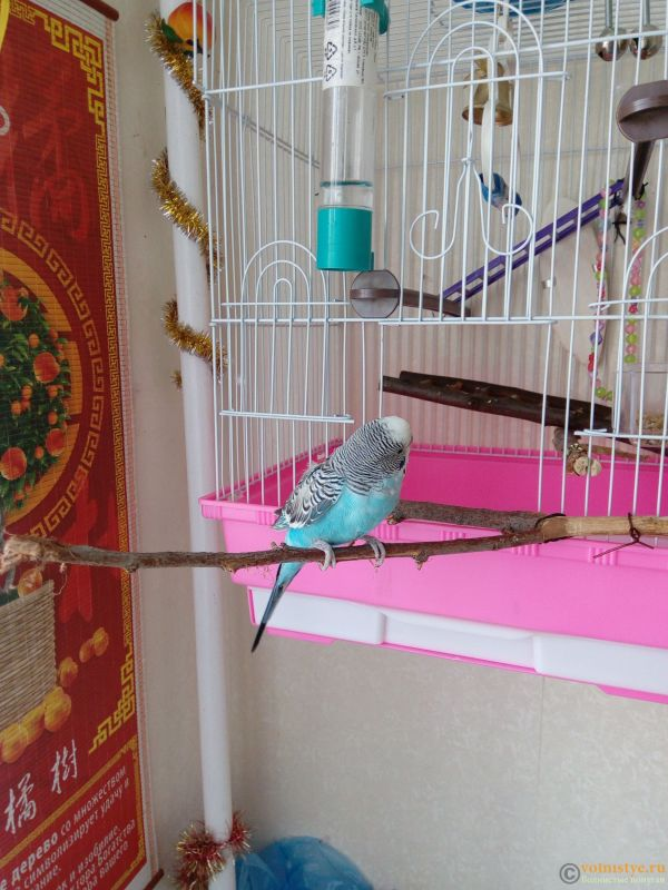 Помогаем советом в приручении попугая - №2 - 1518516615795312703569.jpg