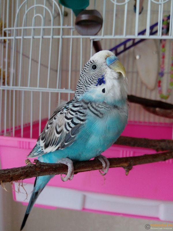 Помогаем советом в приручении попугая - №2 - 1518516755226-1547398203.jpg