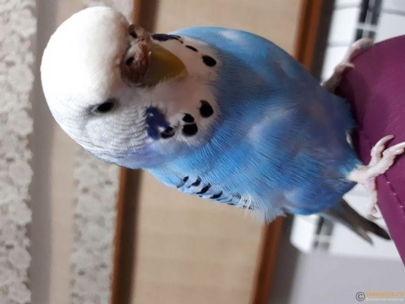 Болезнь попугая - 20180213_213306.jpg
