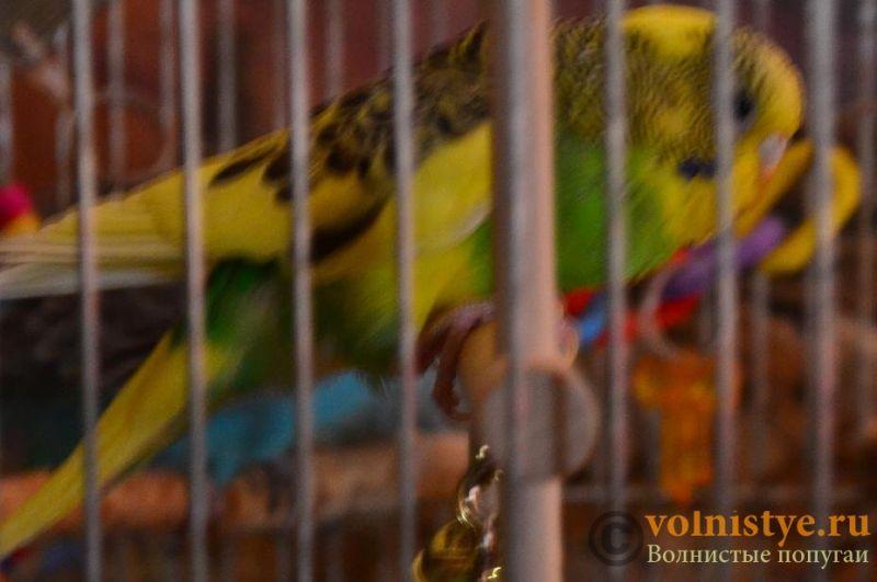 Помогите понять что с попугаем - DSC_0557.JPG