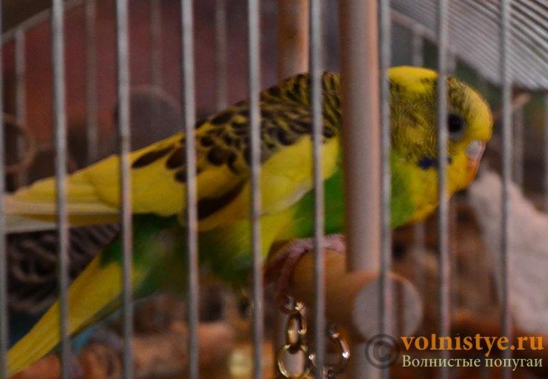 Помогите понять что с попугаем - DSC_0558.JPG