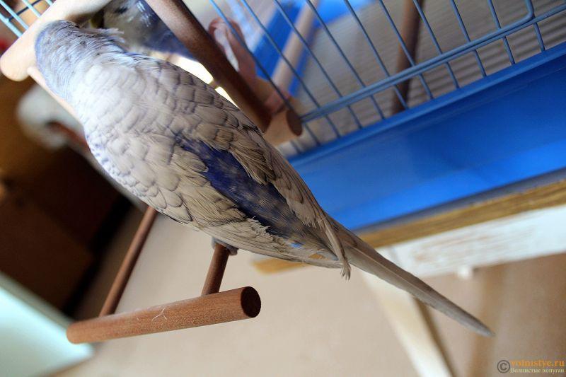 Проблема с оперением у волнистого попугая - IMG_3475.jpg