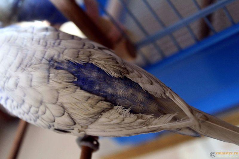 Проблема с оперением у волнистого попугая - IMG_3479.jpg