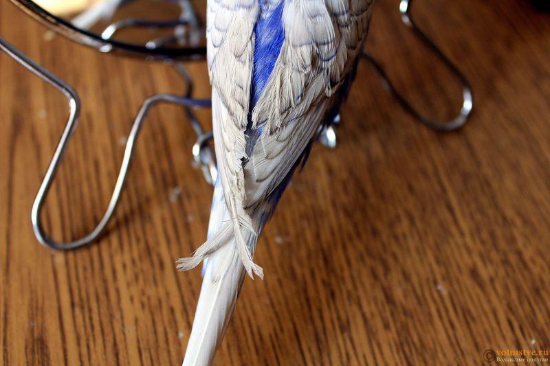 Проблема с оперением у волнистого попугая - IMG_3512.jpg