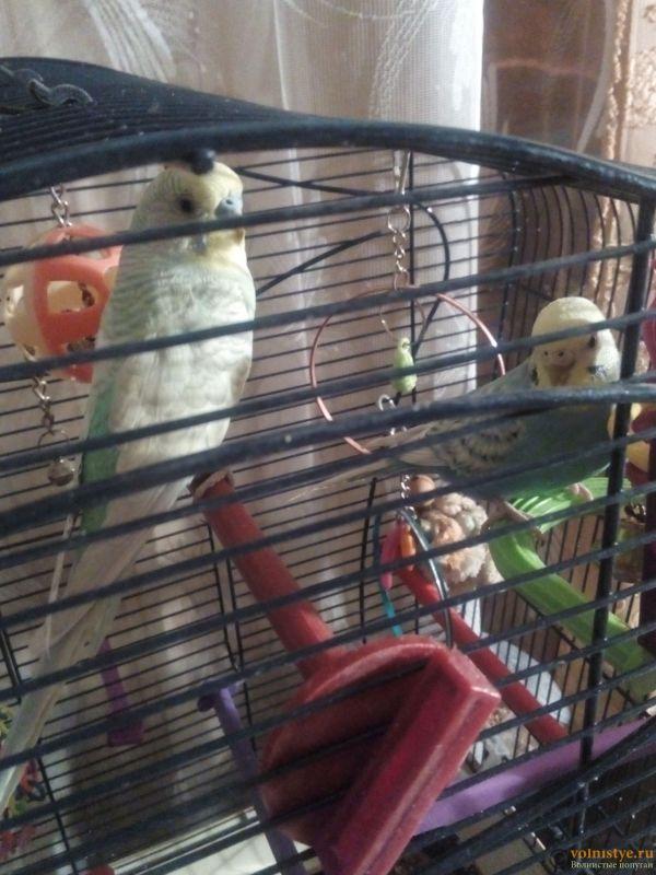 Окрасы волнистых попугаев - 1519587249645-1334461540.jpg