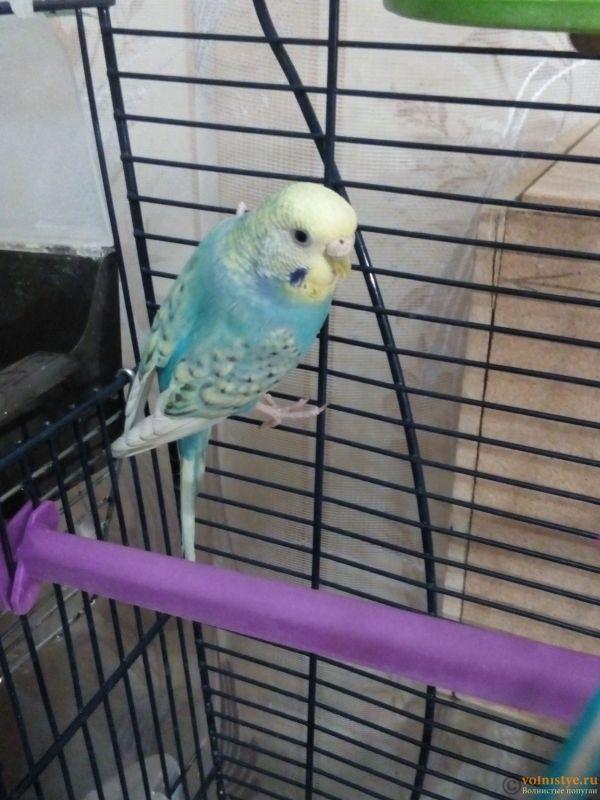Окрасы волнистых попугаев - 1519659693354-866204814.jpg