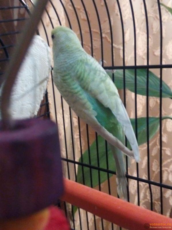 Окрасы волнистых попугаев - 15196598838062010758580.jpg